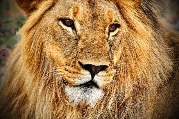 Zulu One of the Last Black Maned Lions web 1000 n 72